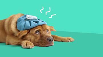 A dog with an ice pack represents hangover cures that work