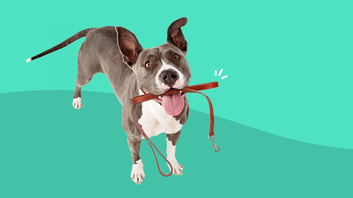 A dog with arthritis holds a leash in his mouth