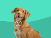 How to treat hypothyroidism in dogs